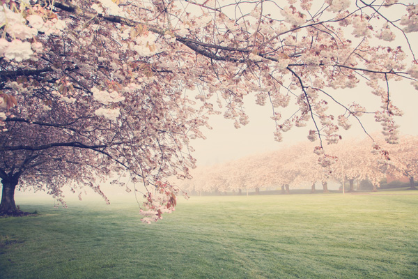 Shirofugen Cherry Trees on Clark College Campus