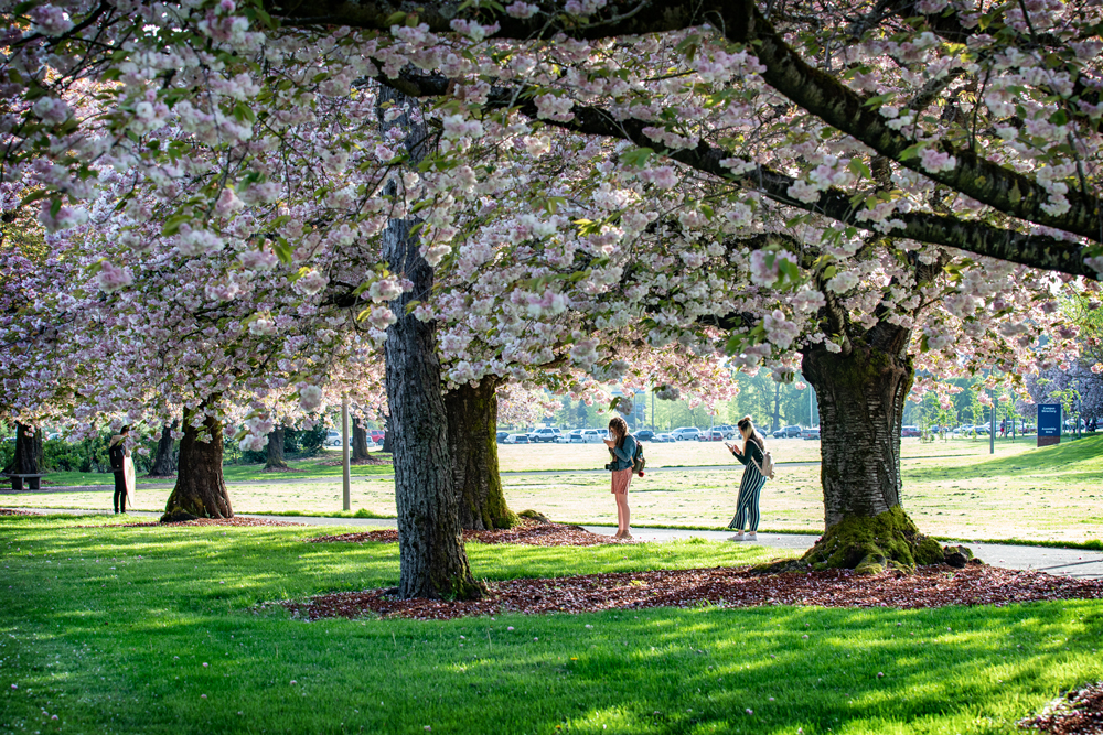 Cherry trees in full bloom with two people under them taking photographs with their phones.
